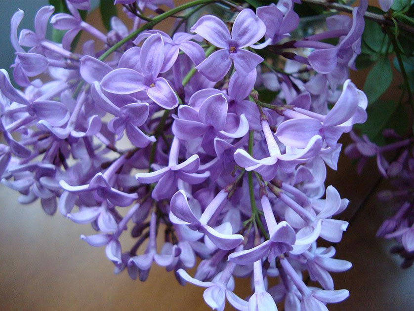 Asessippi lilac